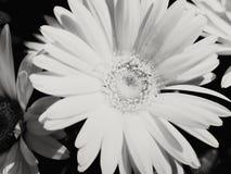 kwiatu czarny biel Obrazy Stock