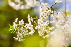 kwiatu czereśniowy pojęcia wiosna drzewo Obrazy Stock