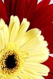 kwiatu czerwieni kolor żółty Zdjęcia Royalty Free