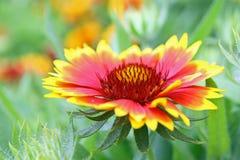 kwiatu czerwieni kolor żółty Obraz Stock