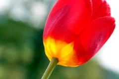 kwiatu czerwieni tulipan Zdjęcia Stock