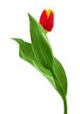 kwiatu czerwieni tulipan Zdjęcia Royalty Free