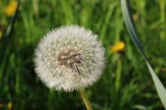 Kwiatu Dandelion, biała spadochronowa piłka na zielonym tle, zbliżenie Zdjęcia Stock