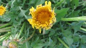 Kwiatu dandelion otwarcia okwitnięcie - timelapse wideo zdjęcie wideo