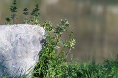 Kwiatu dorośnięcia behond granitu ston z wodą w backgroun Zdjęcie Stock