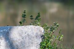 Kwiatu dorośnięcia behond granitu ston z wodą w backgroun Obraz Royalty Free