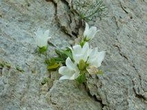 Kwiatu dorośnięcie na skale Obrazy Royalty Free