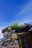 Kwiatu dorośnięcie w Grodowych ścianach Zdjęcia Royalty Free