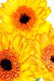 kwiatu duży kolor żółty Obrazy Stock