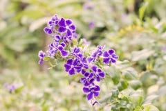 Kwiatu duranta w ogródzie obrazy royalty free