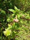 Kwiatu dziki pączek Zdjęcia Royalty Free
