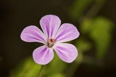 kwiatu dziki różowy Zdjęcia Royalty Free