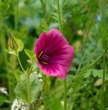 kwiatu dziki różowy Fotografia Stock