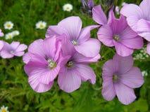 kwiatu dziki różowy Fotografia Royalty Free