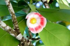 kwiatu egzotyczny drzewo Obraz Royalty Free