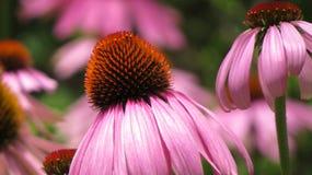 Kwiatu fading Fotografia Royalty Free