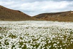 Kwiatu fild blisko pięknego krateru jeziora turkusowy kolor lokalizować w Iceland Obraz Stock