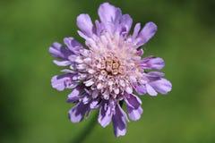 Kwiatu fiołek Fotografia Royalty Free