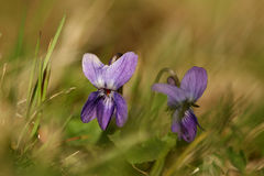 kwiatu fiołek Obraz Stock