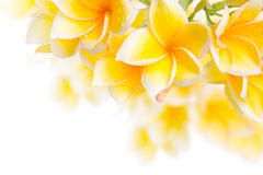 kwiatu frangipani Fotografia Royalty Free