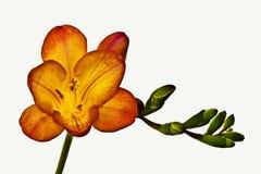 kwiatu frezi pomarańcze Fotografia Royalty Free