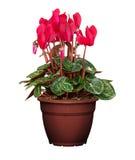 Kwiatu garnek Zdjęcia Royalty Free