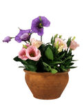 kwiatu garnek Zdjęcie Royalty Free