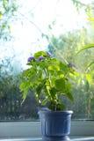 Kwiatu garnek na okno Zdjęcia Stock