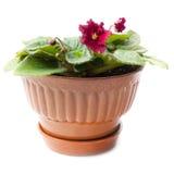 kwiatu garnka purpur fiołki Zdjęcia Royalty Free