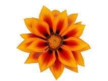 kwiatu gazania Obrazy Stock