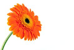 kwiatu gerber fotografia royalty free