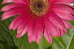 kwiatu gerber Obrazy Royalty Free