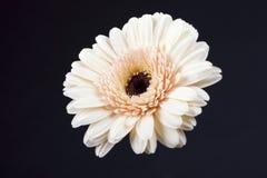 kwiatu gerbera Zdjęcie Stock