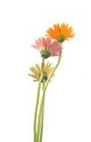 kwiatu gerbera Obrazy Royalty Free