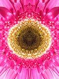 kwiatu gerbera Obraz Stock