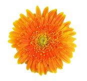 kwiatu gerbera Fotografia Royalty Free