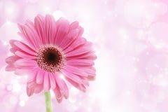kwiatu gerbera menchie Obrazy Royalty Free