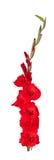 kwiatu gladiolus Obraz Stock