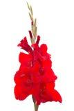 kwiatu gladiolusa odosobniony czerwony biel Fotografia Stock