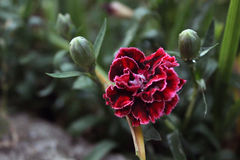 Kwiatu goździk Obrazy Stock