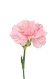 kwiatu goździka menchie Obrazy Stock