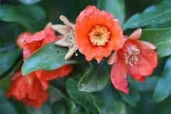 Kwiatu granatowa drzewo Zdjęcia Royalty Free