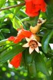 kwiatu granatowiec fotografia stock
