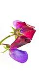 kwiatu grochu cukierki Obraz Stock