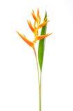 kwiatu heliconia Zdjęcie Stock