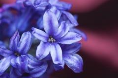 kwiatu hiacynt Obrazy Stock