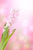 kwiatu hiacyntu menchie Zdjęcia Stock