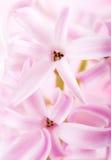 kwiatu hiacyntu menchie Obraz Royalty Free