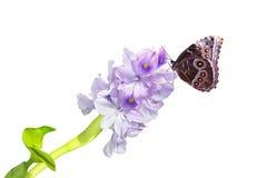 kwiatu hiacyntu woda Obraz Royalty Free