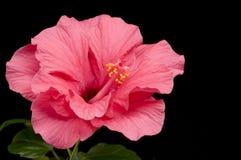 kwiatu hibiskus Zdjęcia Stock